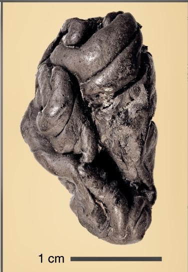 L'immagine di un chewing-gum di betulla di 5700 anni fa. Studio Fidecicchi.